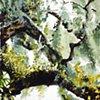 Savannah Tree Study 5