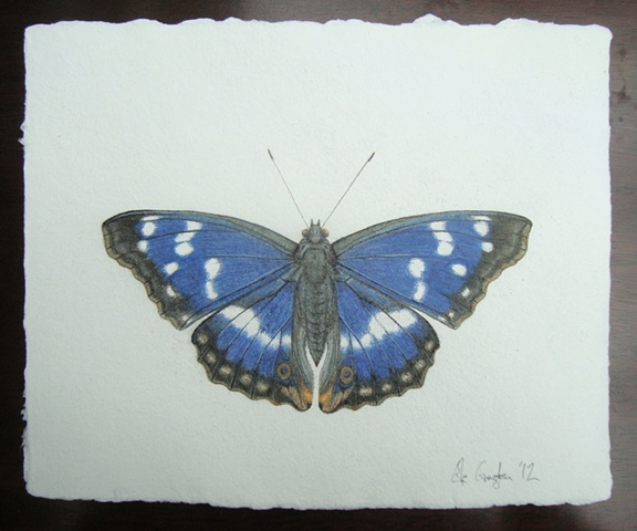 drawing of a Purple Emperor butterfly