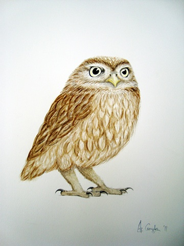 A watercolour painting of a Little Owl.