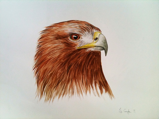A watercolour drawing of a Golden Eagle