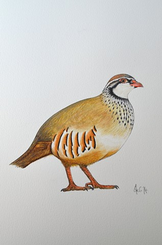 Watercolour drawing of a French Partridge by Ele Grafton