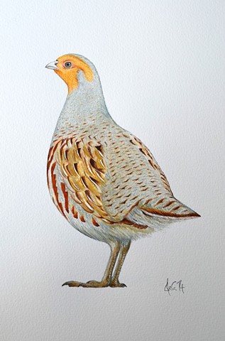 A watercolour drawing of a grey partridge by Ele Grafton