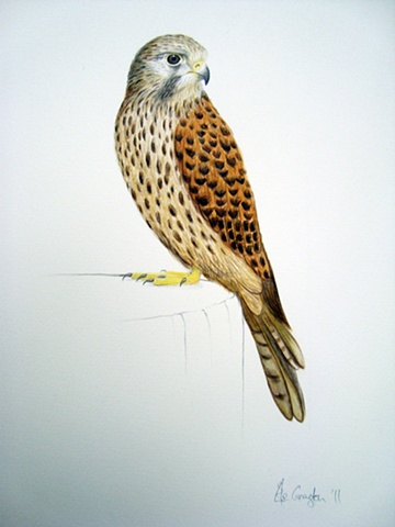A Watercolour painting of a Common Kestrel.