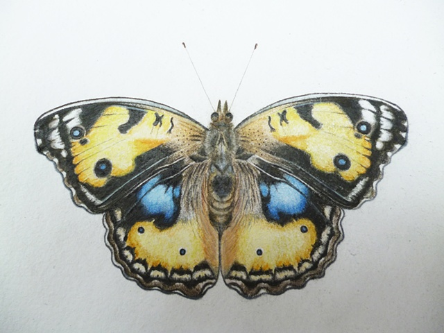 drawing of a yellow pansy butterfly