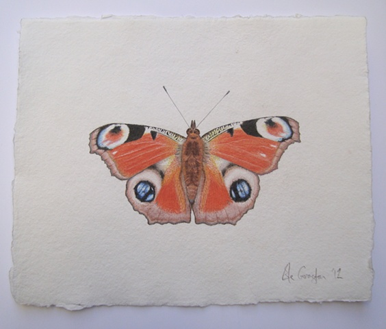 A watercolour drawing of a Peacock Butterfly.