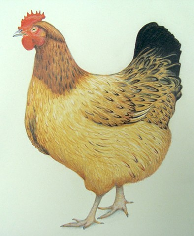 watercolour painting of a chicken