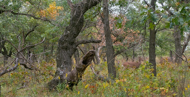 black oaks and whitetails