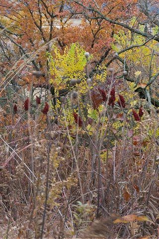 sumac at nippersink creek 1
