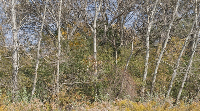 white poplars at miller creek: october