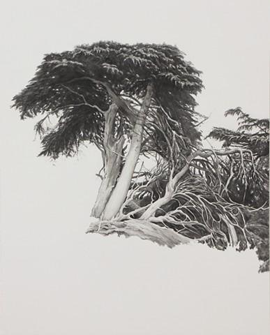 Monterey Cypress #3