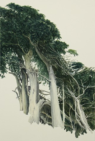 Monterey Cypress #2