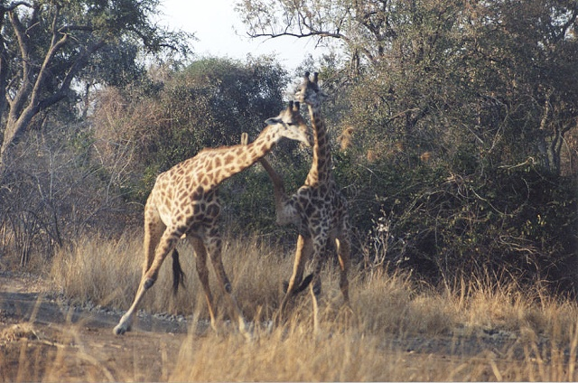 Thornicroft's Giraffes