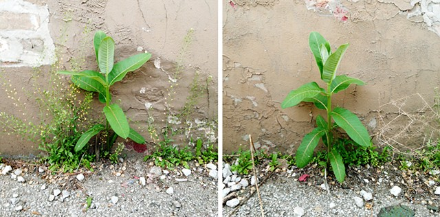 Milkweed Dispersal Balloons - urban milkweed sprouting in alleyways