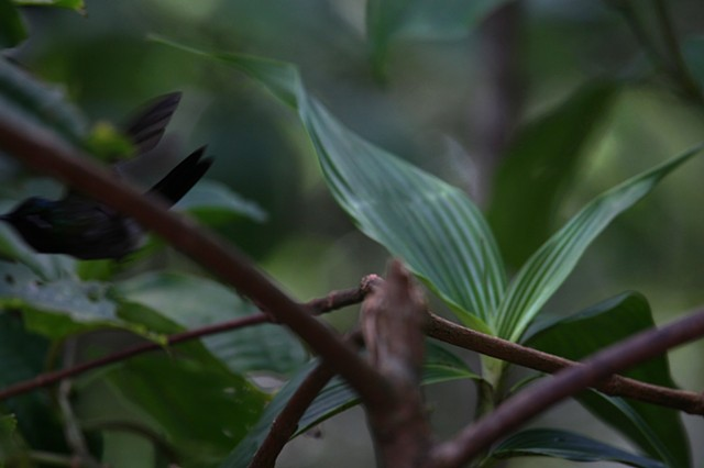 Pictures I Made While Walking in the Jungle (Hummingbird Flying Out of the Frame, Monteverde)