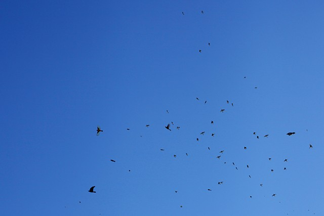 One Hour of Birds (Lilly McElroy - Morning in her Highland Park front yard, Hoping for the unkindness of ravens to return, Los Angeles)