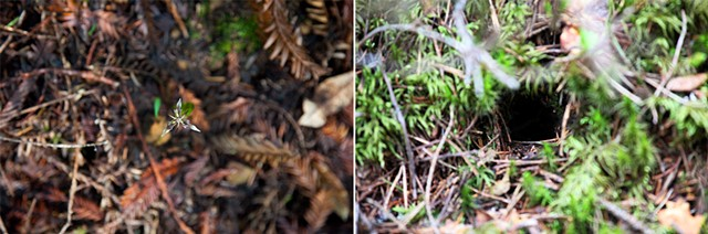 Pictures I Made While Walking in the Woods (California Adderstongue—Scoliopus bigelovii  & Someone's Home)