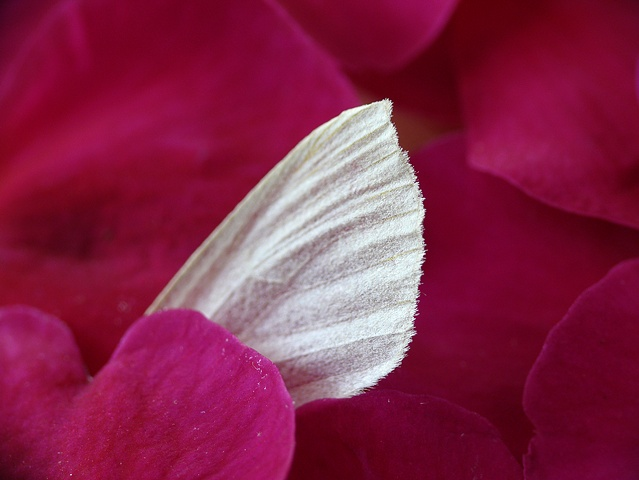 Moth's Wing and Flower Petals
