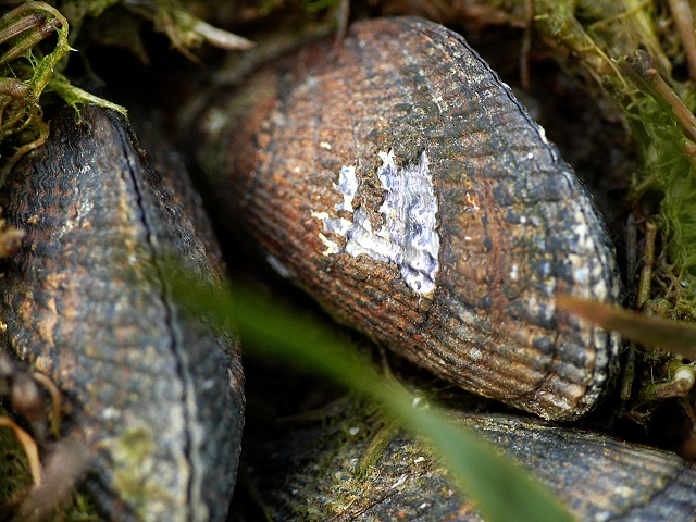 Mussels in Grass 2