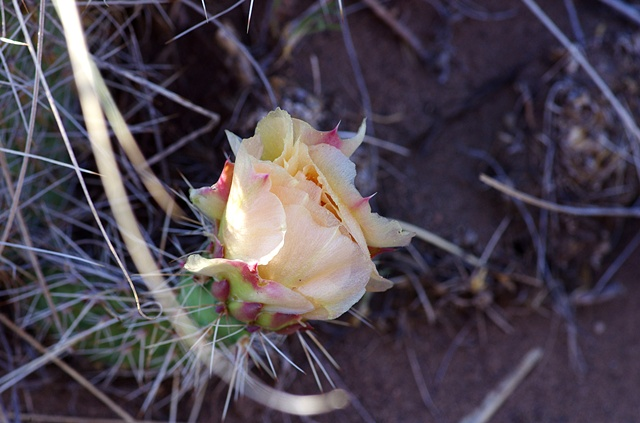 Every Desert Rose Has its Thorns