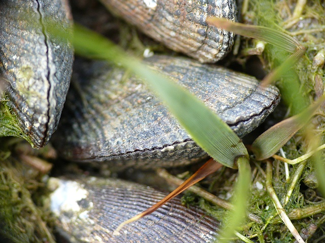 Mussels in Grass