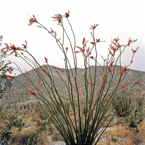 Anza Borrego desert flower archival pigment print photograph by Chris Danes