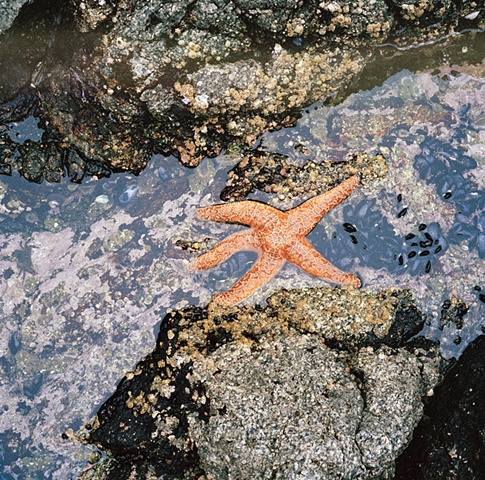Pt. Lobos starfish archival pigment print photograph by Chris Danes
