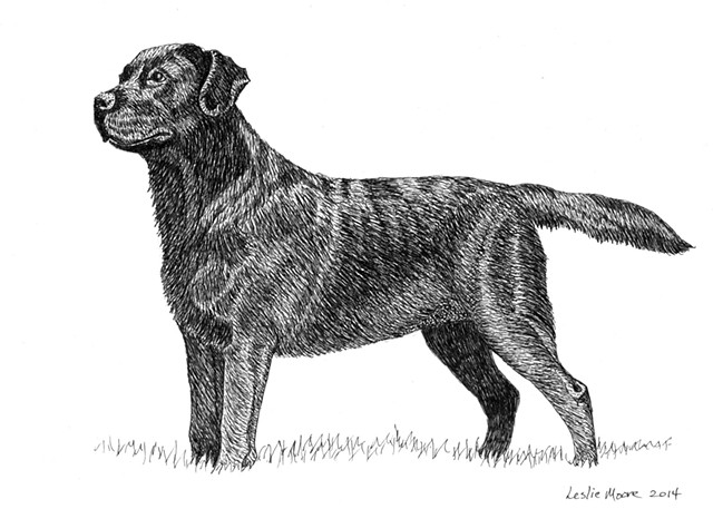 A pen and ink drawing of a black Labrador retriever by Leslie Moore of PenPets.