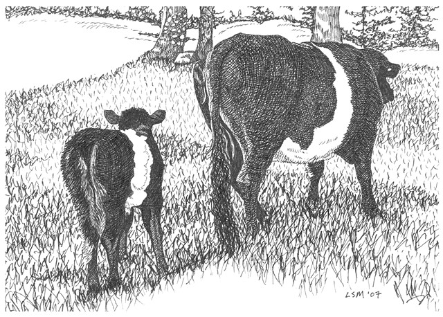 A pen and ink drawing of a belted Galloway calf following her mother by Leslie Moore of PenPets.