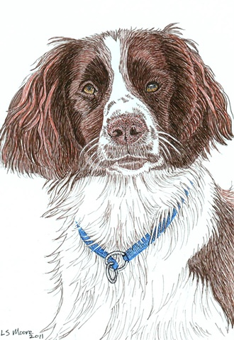 A colored pen and ink drawing of a Springer Spaniel by Leslie Moore.
