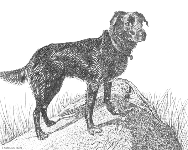 A pen and ink drawing of a Labrador retriever/Border collie mixed breed dog by Leslie Moore.