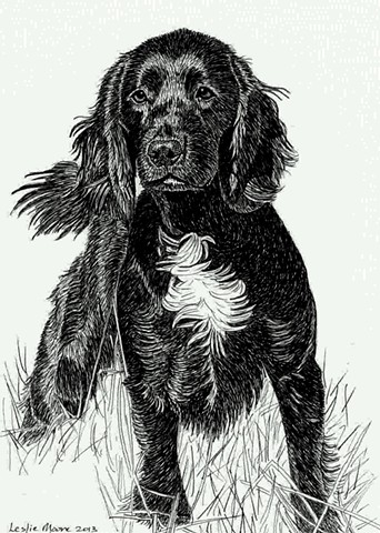 A pen and ink drawing of a field trial champion cocker spaniel by Leslie Moore of PenPets.