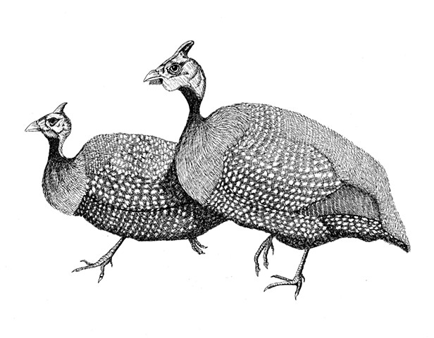 A pen and ink drawing of two Guinea fowl by Leslie Moore of PenPets.
