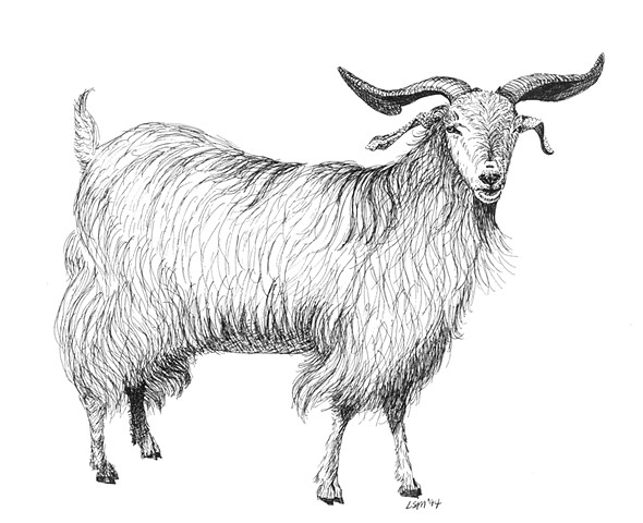 A pen and ink drawing of a cashmere buck by Leslie Moore of PenPets.