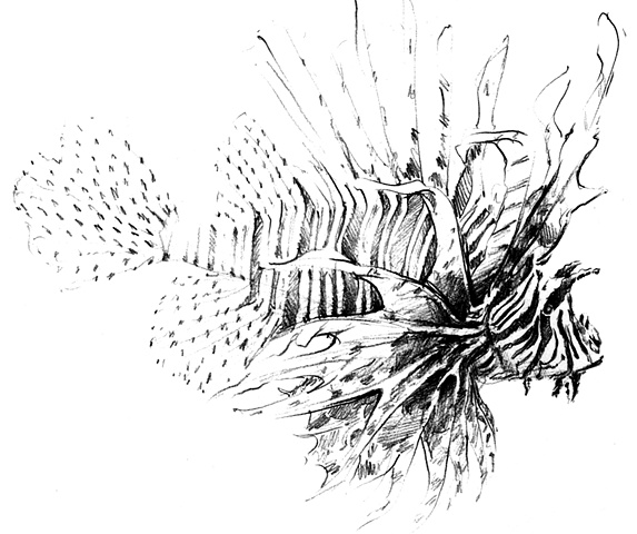 Lion Fish Drawing - Side View