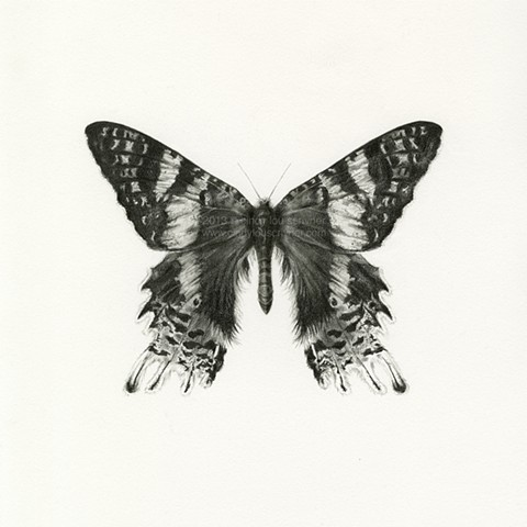 A scientific illustration of a Madagascan Sunset Moth, the Chrysiridia rhipheus, created in graphite