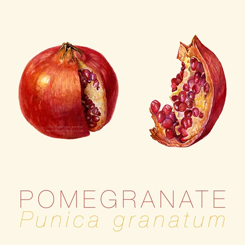 A cutaway and a slice of the delicious scarlet fruit: Pomegranate, punica granatum.    I wanted to show the shiny, crimson external skin of the pomegranate along with the internal membrane and jewel-like ruby arils.  Painted in Winsor & Newton watercolors