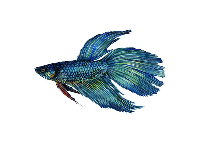 This is Mortimer (my pet Betta fish!) He is male Veil tail variation; he has extended finnage length and a non-symmetrical, drooping tail, with caudal fin rays that only split once.   This beautiful tropical fish displays shades of cobalt, turquoise, viol