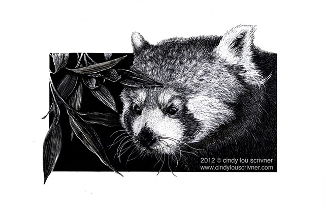 A Red Panda pushing through bamboo leaves to hunt an insect. Ink and scratchboard.
