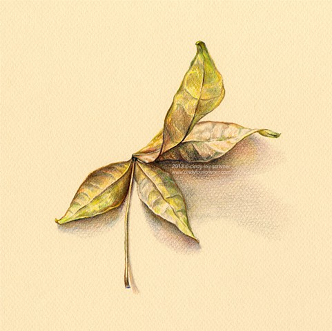 A colored pencil drawing of dried money tree leaves by Cindy Lou Scrivner