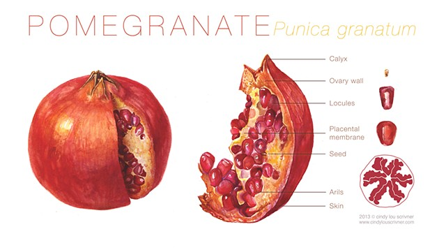 A dissection and cutaway of the internal and external structures of the pomegranate.  A cutaway and a slice of the delicious scarlet fruit: Pomegranate, punica granatum.    I wanted to show the shiny, crimson external skin of the pomegranate along with th