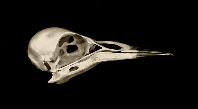 starling skull, birds, skulls, nature