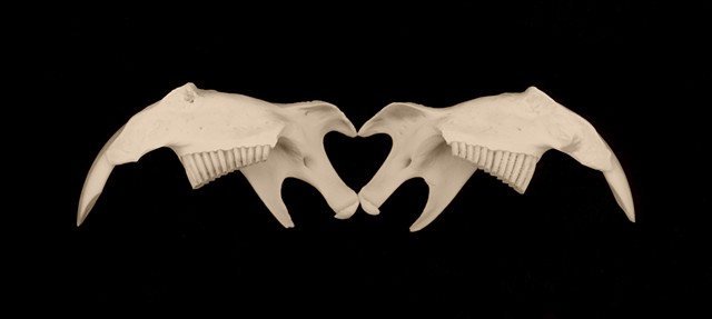 Fleeting Heart (Muskrat Jawbones)