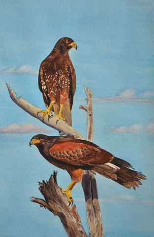 Birds of Prey - Harris's Hawks