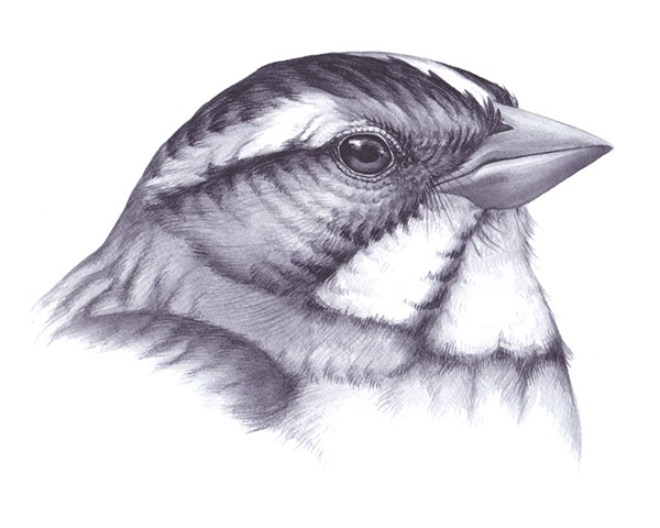 Head Pattern study of a White-Throated Sparrow