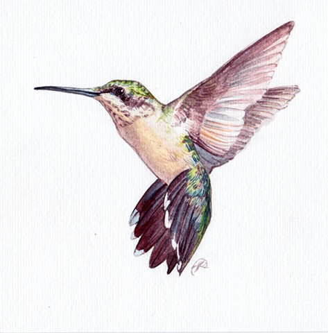 Ruby-Throated Hummingbird study
