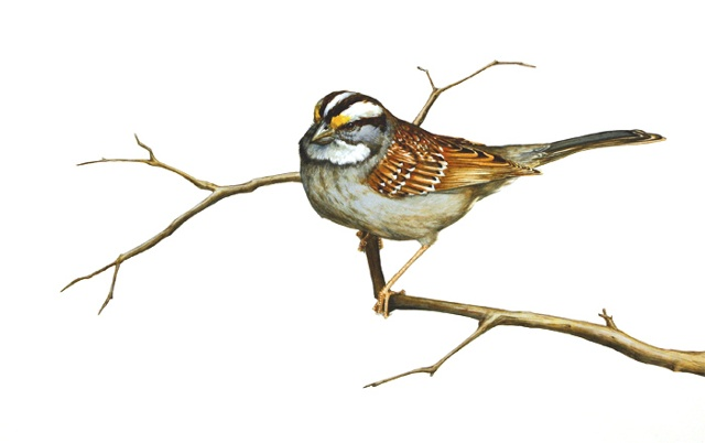 White-Throated Sparrow with White