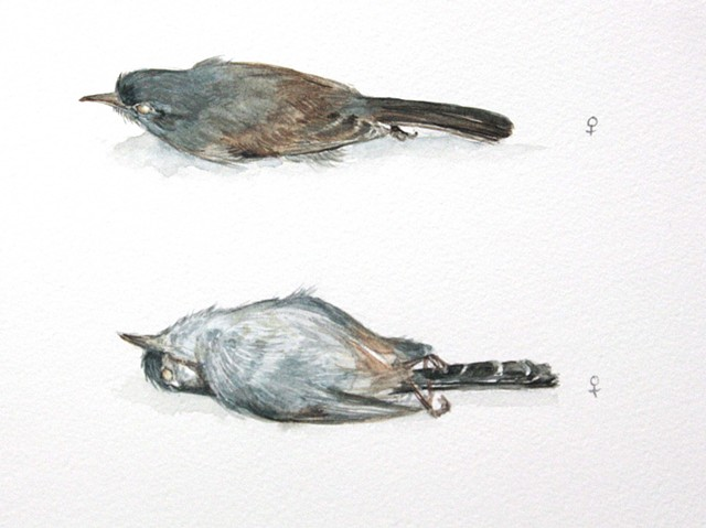 Coastal California Gnatcatcher Study