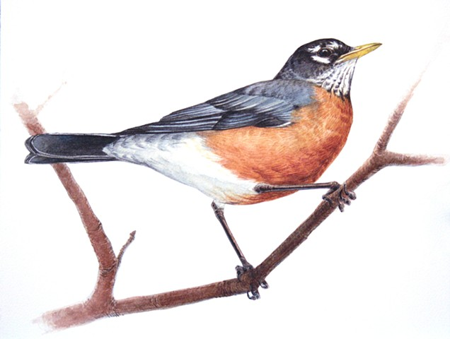 American Robin, perched