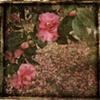 camellia for patricia