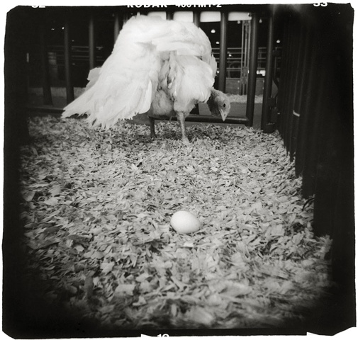 Holga photo of a white turkey